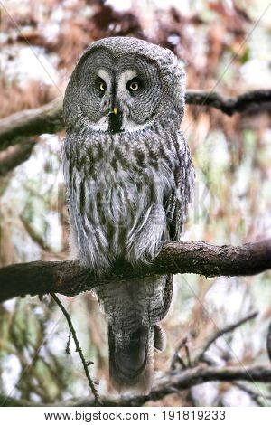 Adult Great grey owl, Strix nebulosa, perched on a tree branch.