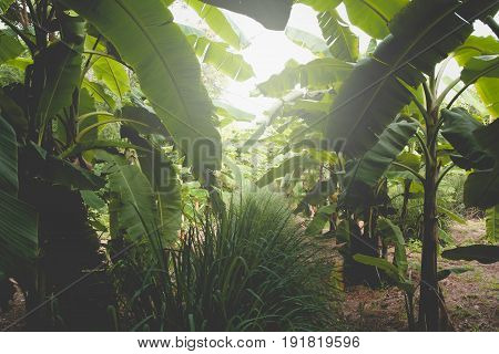 Banana tree with bunch of growing ripe green bananas. Banana trees in lush tropical garden.
