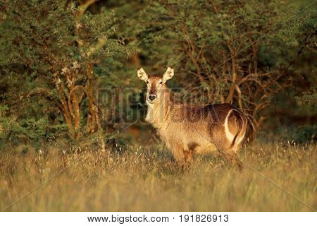 Waterbuck antelope (Kobus ellipsiprymnus) in late afternoon light, South Africa
