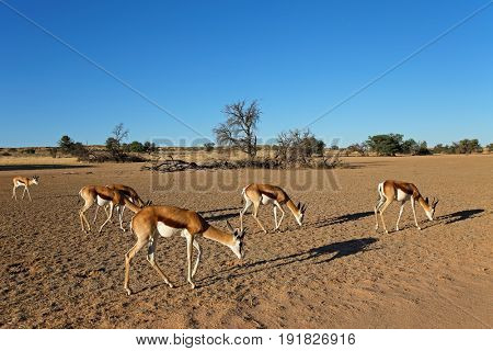 A herd of springbok antelopes (Antidorcas marsupialis) in desert landscape, Kalahari, South Africa