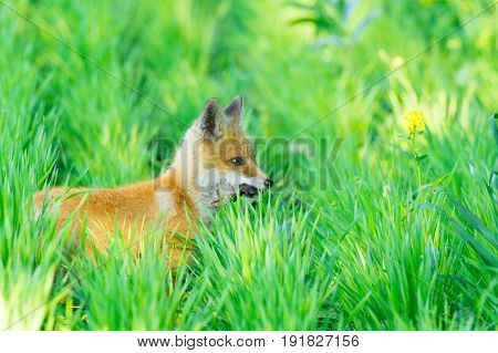 The picture shows a fox on the grass