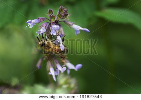 bee collects nectar on a flower plants of meadows and fields   - blooming  salvia