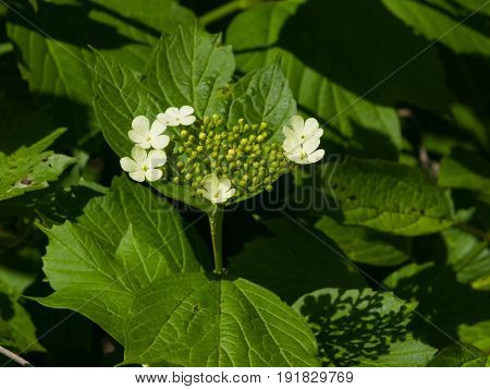 Blooming Guelder rose Viburnum opulus flowers and buds close-up selective focus shallow DOF.