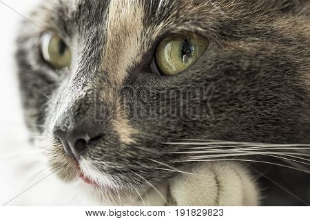 Сute young three-colored cat in the green eye of which the photographer is reflected. Close-up.