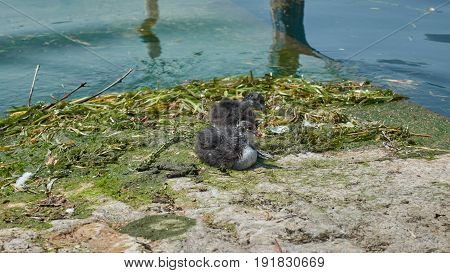 two little duckling rest on algae at lake