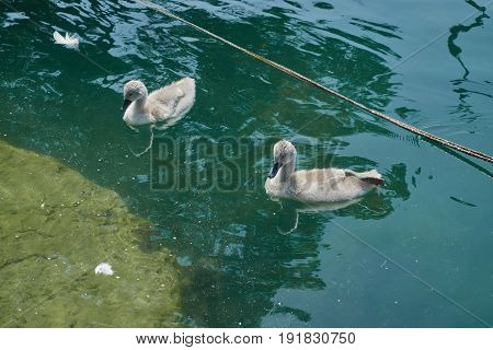 two cute ducklings swimming on blue  lake