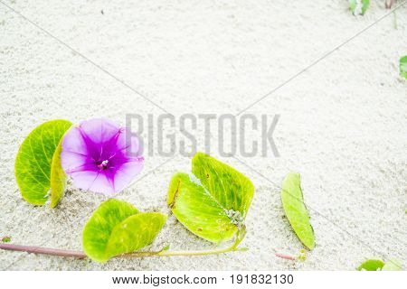 Purple Flower of morning-glory on white sand - background texture with empty space