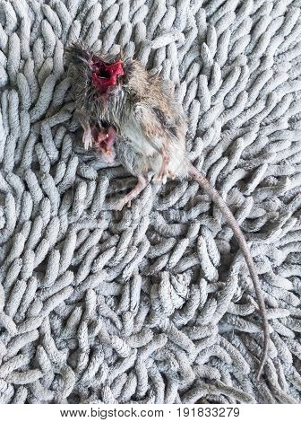 Carcasses rat which was killed by a cat on the fluffy doormat near the house door.(Select focus)