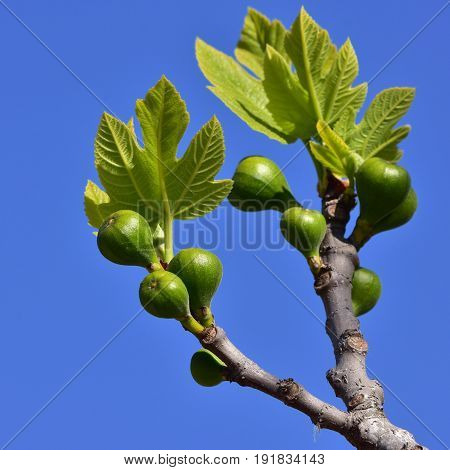 young fig tree,pn sland Majorca in Spain