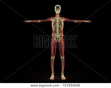 Human Anatomy X Ray 3D Render On Black