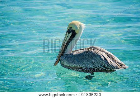 Pelican swimming on the Cariibean Sea at Cancun