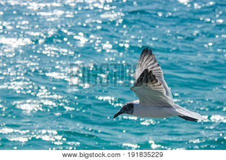 Seagull flying over the carribean sea of Cancun
