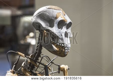 Madrid Spain - February 24 2017: Lucy skeleton a female of the hominin species Australopithecus afarensis at National Archeological Museum of Madrid