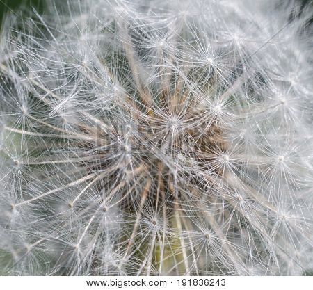 Closeup of dandelion seeds for abstract nature background