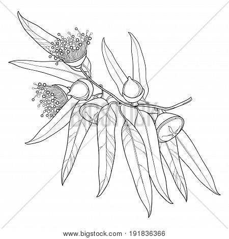 Vector bunch with outline Eucalyptus globulus or Tasmanian blue gum, fruit, flower, leaves isolated on white background. Contour Eucalyptus branch for cosmetic, herbs, medical design, coloring book.