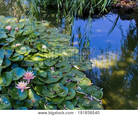 Lily pads and pink water lily's with reflected blue sky