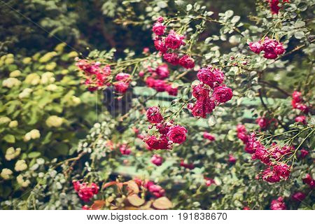 Hidden wooden bench in the garden full of red roses and other flowers
