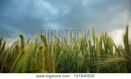 Spikelets of wheat in a field with grain, against a background of gray, blue, storm clouds, summer. The pouring rain is coming.