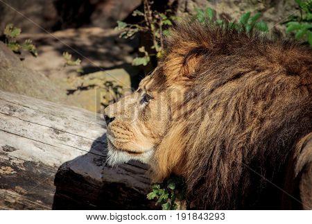 Lion (panthera Leo Krugeri) Portrait