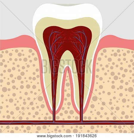 Human tooth gum in a cross section. Tooth Root canal. Tooth Detailed anatomy. tooth color image stomatology flat style tooth concept for design Dental illustration tooth art picture