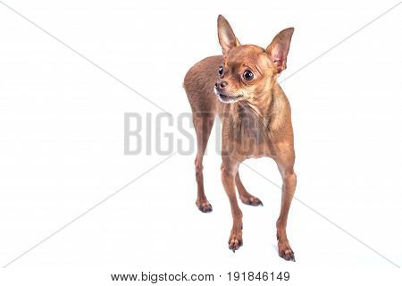 The toy terrier on white background isolated
