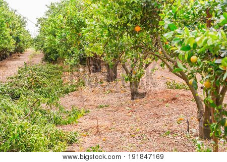 Ripe mandarin tree growing in the farm garden, agriculture industry