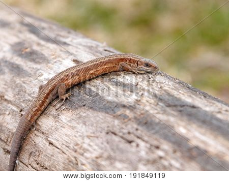 Lizard sitting on old log in nature with shallow depth of field