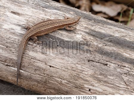Little brown lizard sitting on old log in nature with shallow depth of field