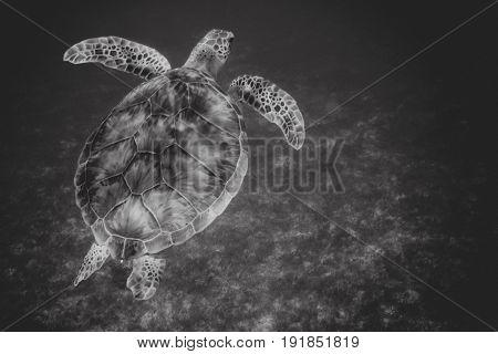 Black and white landscape of sea turtle swimming over seagrass