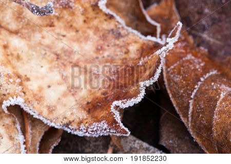 Beautiful frosted autumn leaves close up in a pile