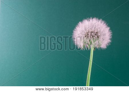 Dandelion on colorful background. card, cover and deco