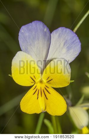 shot of the pansy (viola tricolor) extreme closeup