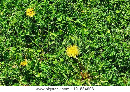 Background of flowers of yellow dandelions lying on green grass on a bright sunny day.