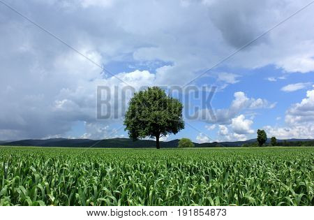 lonely tree in corn field in cloudy day