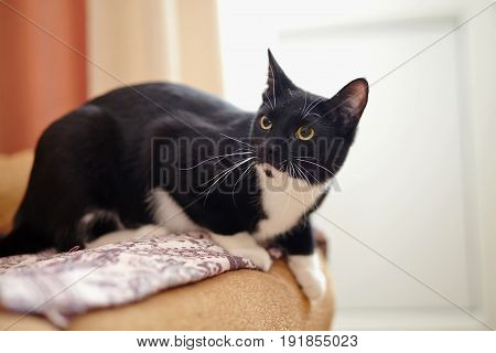 The alerted domestic cat of a black-and-white color on a sofa.