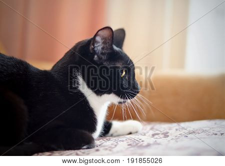 Portrait of a domestic cat of a black-and-white color in a profile.