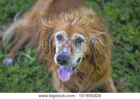 Portrait of irish ginger border collie on grass