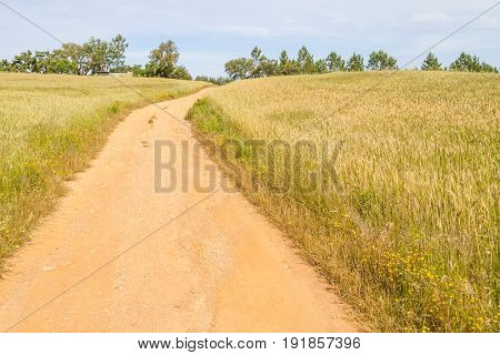 Wheat Plantation Farm And Wild Flowers In Vale Seco, Santiago Do Cacem