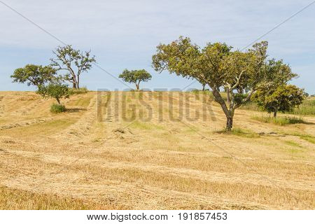 Wheat Plantation Farm And Cork Trees In Vale Seco, Santiago Do Cacem