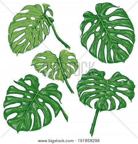 Hand drawn branches and leaves of tropical plants. Green Monstera fronds isolated on white. Vector sketch.