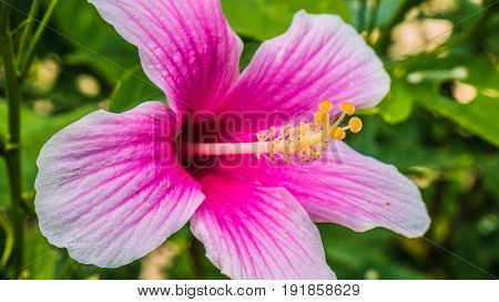Hibiscus rosa-sinensis beautiful bright coloured tropical flower.