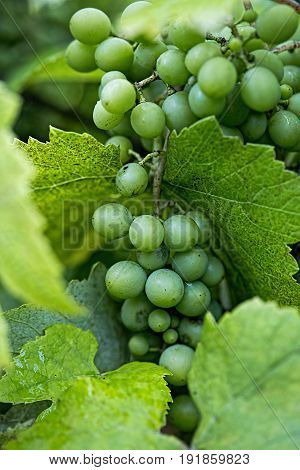Greem grapes on the vine in vineyard