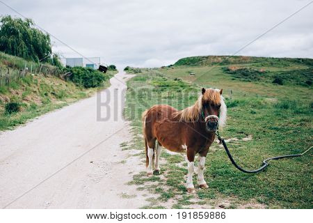 Cute tiny pony looks in the camera while chewing on grass and stands in middle of farm