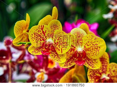 Beautiful yellow orchids with red spots close up, selective focus