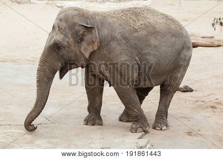 Asian elephant (Elephas maximus). Wildlife animal.