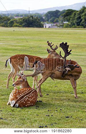 Herd of deers on grass in Phoenix Park Ireland