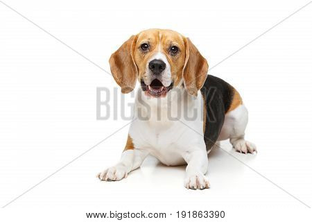 beautiful beagle girl dog isolated on white background. copy space.