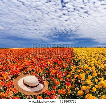 Elegant ladies straw hat lies on the field of red garden buttercups. The concept of recreation and eco-tourism