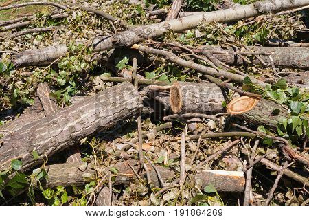 Summer. Sunny day. On the ground lie branches trunk and poplar leaves. Color green brown black yellow gray