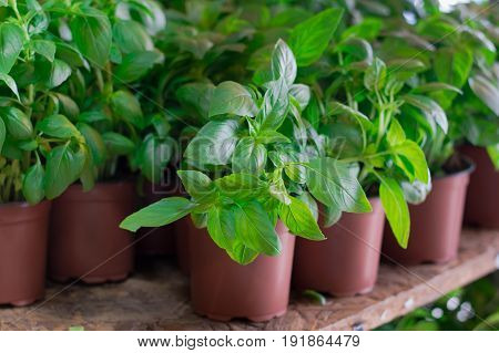 Fresh Basil For Sale On Farmer's Market. Agriculture Background. Close-up. Top View